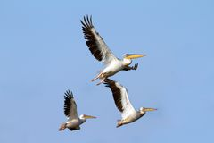 Flock of pelicans flying. Over blue sky background - photo taken on the Danube Delta, Sahalin island Stock Photos