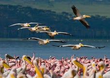 A flock of pelicans flying over the lake. Lake Nakuru. Kenya. Africa. Stock Images