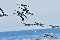 Flock of Pelicans. A flock of pelicans flying over the ocean stock image