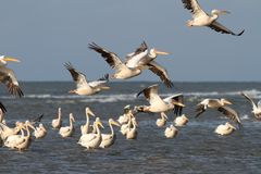 Flock of pelicans flying over water Royalty Free Stock Photography