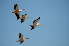 Flock of pelicans Royalty Free Stock Images