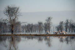 Flock of pelicans. A flock of pelicans on the ground with the reflection Stock Photography