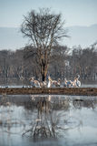 Flock of pelicans. A flock of pelicans on the ground with the reflection Royalty Free Stock Photo