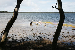 Flock of pelicans. Group of pelicans in the sea royalty free stock photography