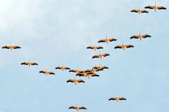 A flock of pelicans migrate from Europe to Africa. Passing Israeli skies above Hula Nature Reserve in north Israel Royalty Free Stock Image