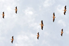 A flock of pelicans migrate from Europe to Africa. Passing Israeli skies above Hula Nature Reserve in north Israel Royalty Free Stock Images