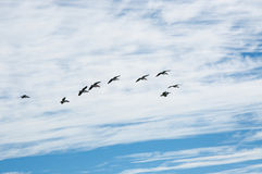 Flock of Pelicans. Flock of nesting pelicans flying in a cloudy blue sky over Penguin Island in Western Australia Royalty Free Stock Photo