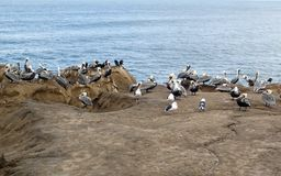 Flock of Pelicans on an Ocean Cliff royalty free stock photo