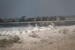 Flock of Pelicans over The Lake Bank. Flock of pelicans and other birds nesting over a lake bank royalty free stock image