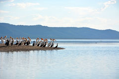 Flock of the pelicans Royalty Free Stock Image