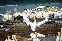 Flock of Pelicans in Seashore Royalty Free Stock Photography