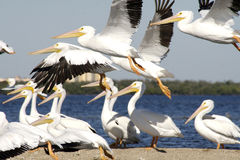 Flock of Pelicans by shore. Scenic view of flock of white Pelicans taking off from shoreline, water in background Stock Photo