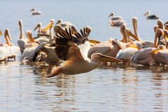 A flock of pelicans on the shore of the lake. Kenya Royalty Free Stock Images