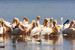 A flock of pelicans on the shore of the lake. Nakuru, Kenya Royalty Free Stock Image