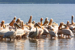 A flock of pelicans on the shore of the lake. Nakuru Royalty Free Stock Photography