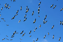 Flock of Pelicans in the sky Stock Image