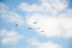 Flock of pelicans in the sky. Five pelicans soaring in the sky Royalty Free Stock Photo