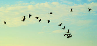 Flock of pelicans. In the sky Royalty Free Stock Photo