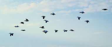 Flock of pelicans in the sky. Pelicans. Pelicans in the sky floc Stock Photo