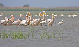Flock of pelicans and spoonbils Royalty Free Stock Photography