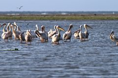 Flock of pelicans standing  in shallow water Stock Photography