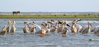 Flock of pelicans standing in the water Stock Photo