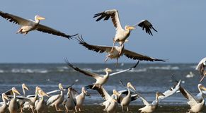 Flock of pelicans taking flight at Sahalin Stock Image