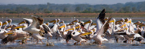 A flock of pelicans taking off from the water. Lake Nakuru. Kenya. Africa. An excellent illustration Stock Photos