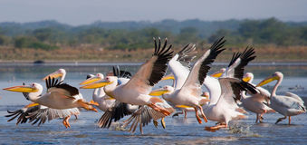 A flock of pelicans taking off from the water. Lake Nakuru. Kenya. Africa. Stock Photo