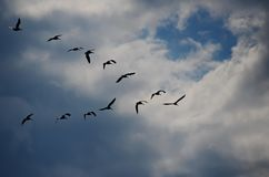 A flock of Pelicans in V formation stock image