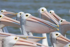Flock of Pelicans. Waiting to be fed stock photography