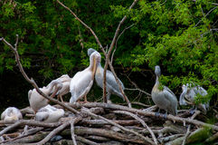 Flock of pelicans Stock Photos