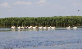 Flock of pelicans Stock Image
