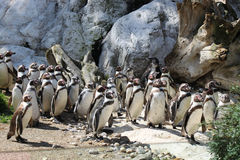 Flock of penguins Royalty Free Stock Photography