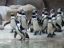 A flock of penguins before feeding stock photo