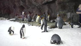 A flock of penguins in the snow stock footage