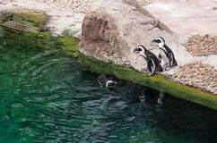 A flock of penguins Stock Images