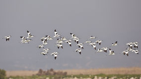 A Flock of Pied Avocet in Flight Royalty Free Stock Photography