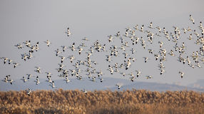 Flock of Pied Avocet in Flight Royalty Free Stock Images