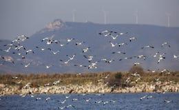 Flock of Pied Avocet in Flight Stock Photography