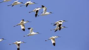 Flock of Pied Avocet in Flight Stock Photo