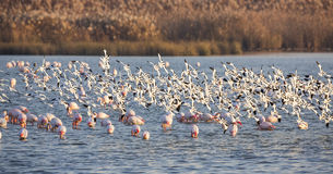 Flock of Pied Avocet in Flight Stock Images