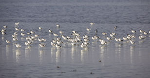 Flock of Pied Avocet Stock Photo