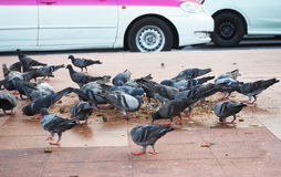 Flock of pigeon eating. Royalty Free Stock Photo