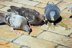 Flock of pigeon Royalty Free Stock Images
