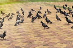 Flock pigeon on street thailand.  royalty free stock image