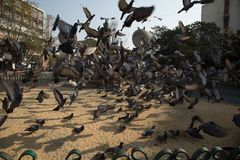 Flock of pigeon. Taking off, besides the road, having food stock image