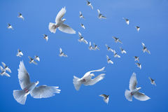 Flock of pigeons. Flying with blue sky background Royalty Free Stock Image