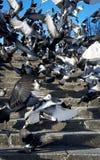 Flock of Pigeons Stock Image