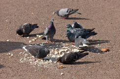 The flock of pigeons Royalty Free Stock Images